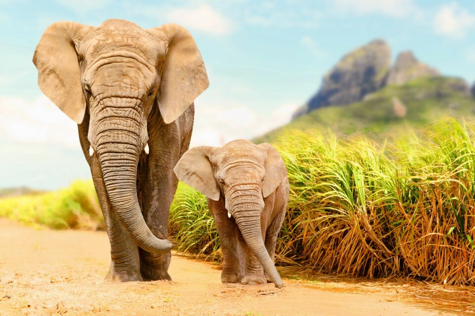 The study reveals that poaching has a greater impact on African elephants than simply the death of the poached individuals.