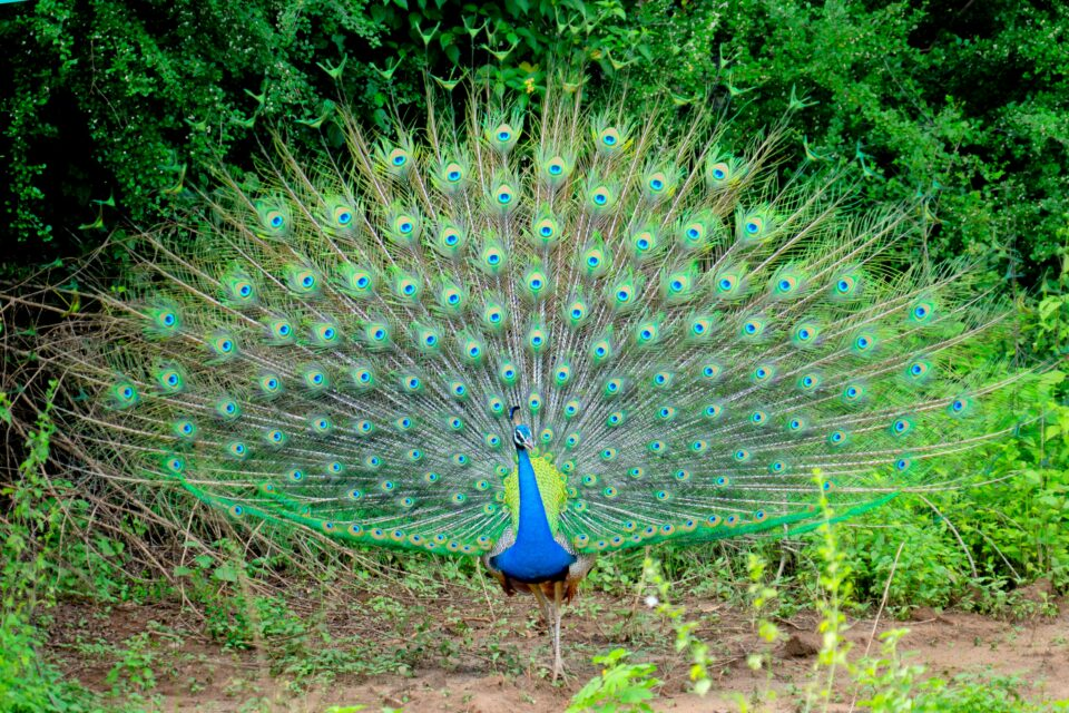 These experts have pondered why some animals such as the peacock, with its luxurious tail feathers, develop traits that make them more visible to predators and less able to flee.