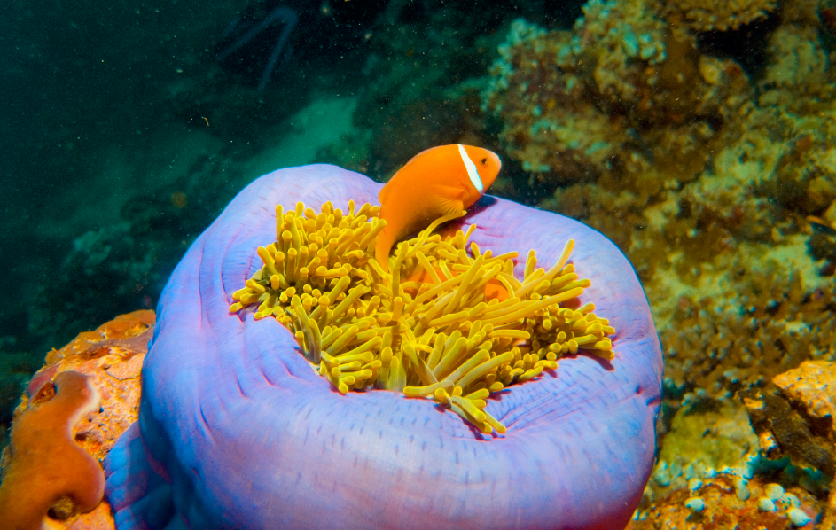 In a new study published by PLOS, scientists have investigated microbes called Corallicolida that live inside of corals