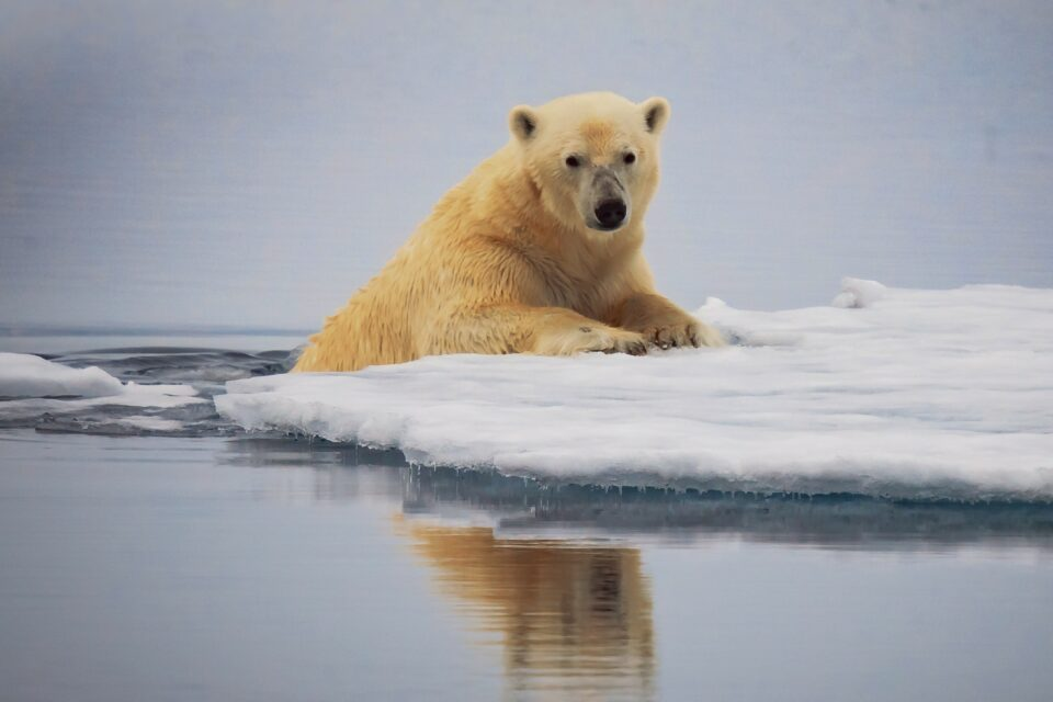 On the other extreme of these polar food webs are top predators such as orcas and polar bears.