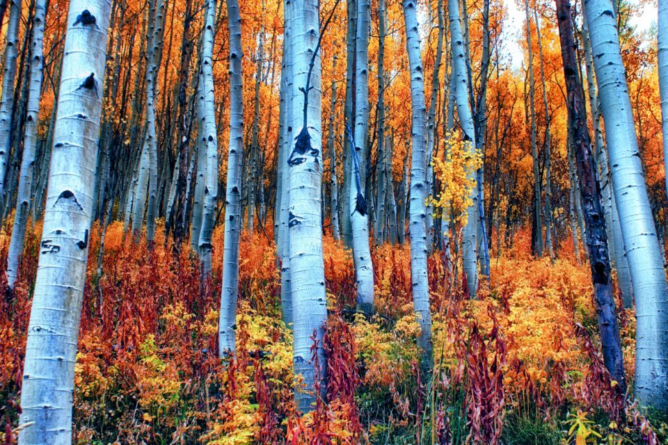 The experts found that aspen trees change their genetic structure over time as they balance the need to compete for sunlight and defend themselves from pests