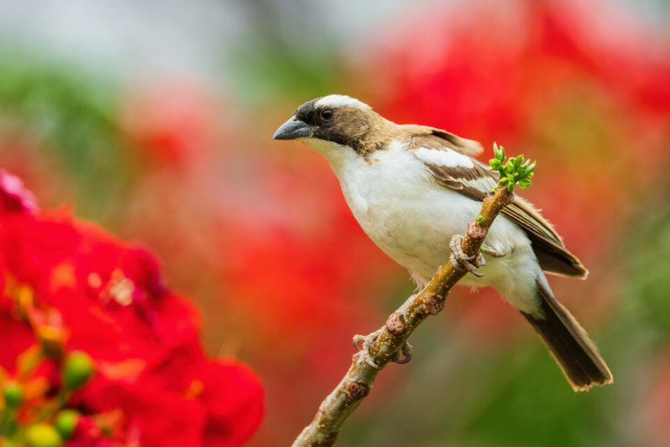 Cooperative breeding in birds has long fascinated evolutionary scientists.