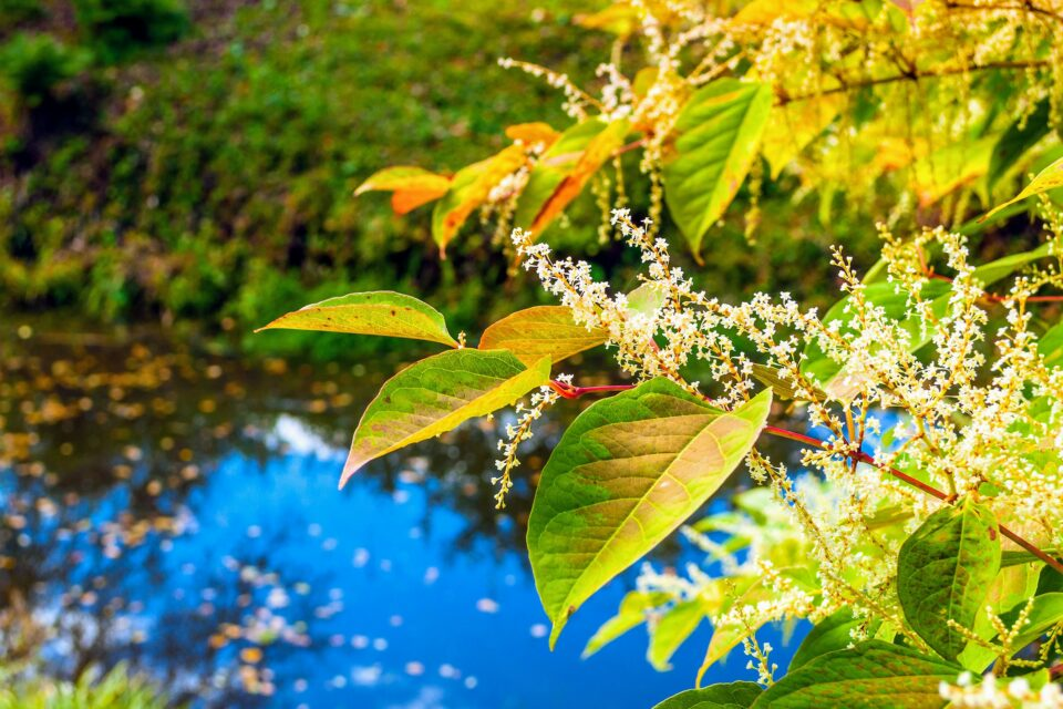 plant extracts, such as those from Japanese knotweed, could be used to replace the questionable chemical compounds