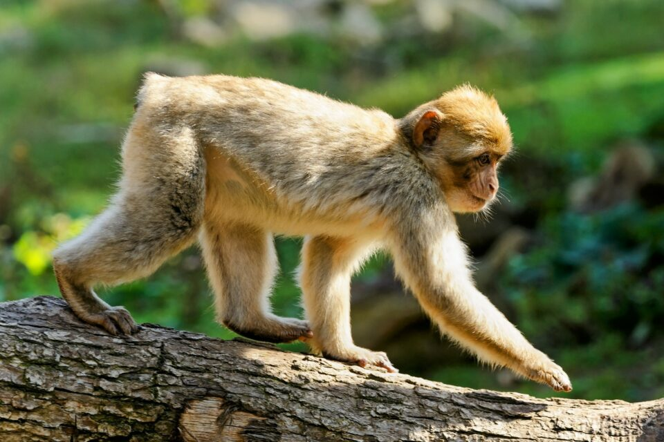 the loss of tails in humans and apes, which occurred roughly 25 million years ago.