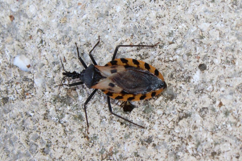 Black-and-brown-Kissing-bug