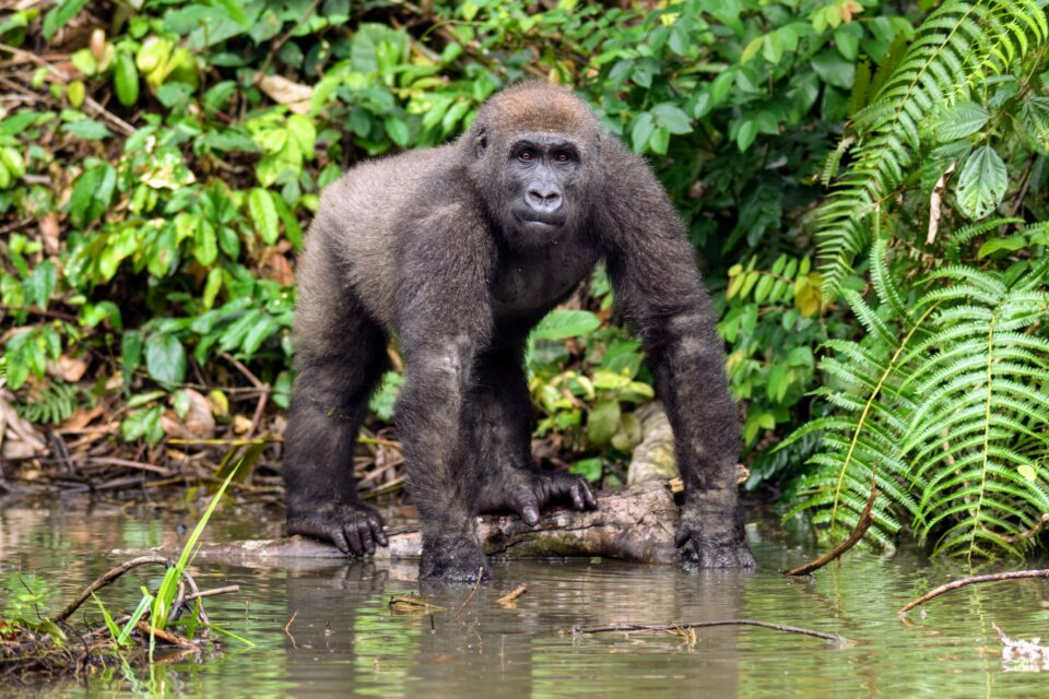 A new study led by Duke University argues that the demise of threatened primates could also trigger the extinction of many species of parasites that live in and on them.