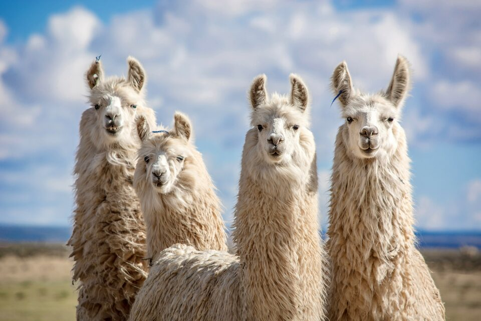 """It consists of """"nanobodies,"""" which are smaller and simpler versions of antibodies that llamas, camels, alpacas, and sharks appear to produce naturally"""