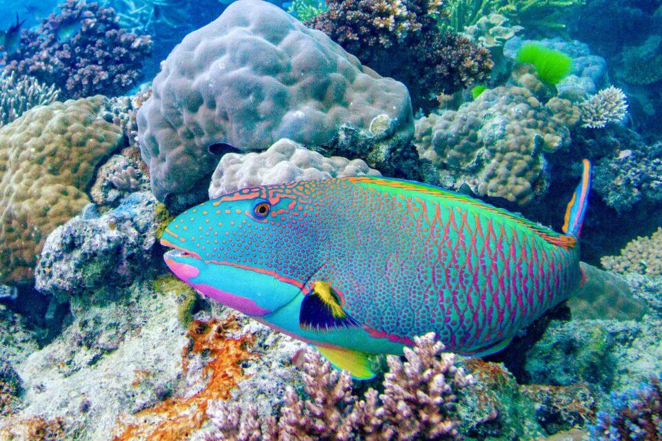 Rainbow Parrotfish , Scarus guacamaia