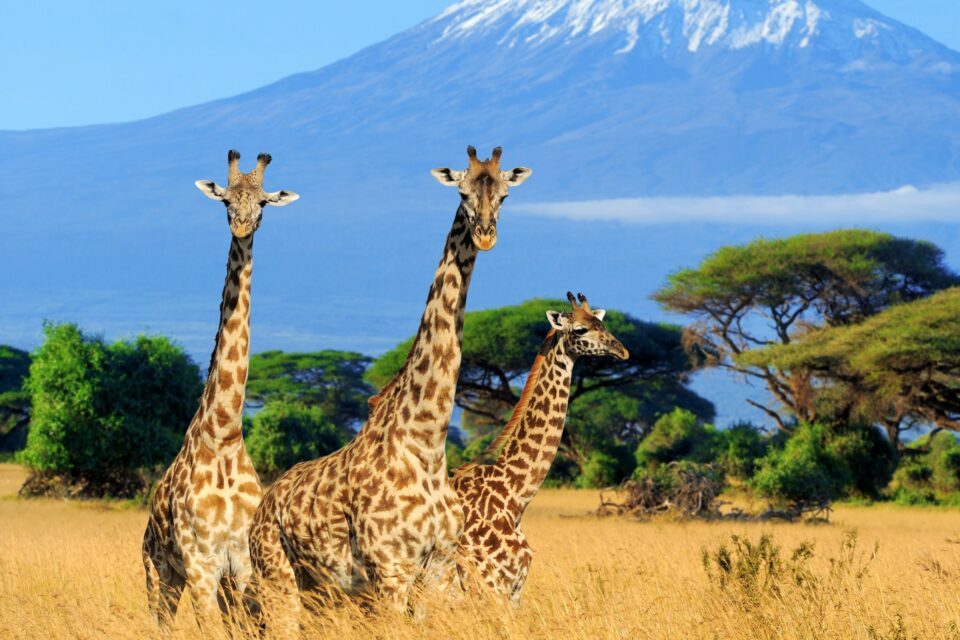A new study published in the journal Ethology has found that giraffe males usually engage in fights with males of similar stature, showing a surprising example of fair play that is rarely seen in the animal kingdom