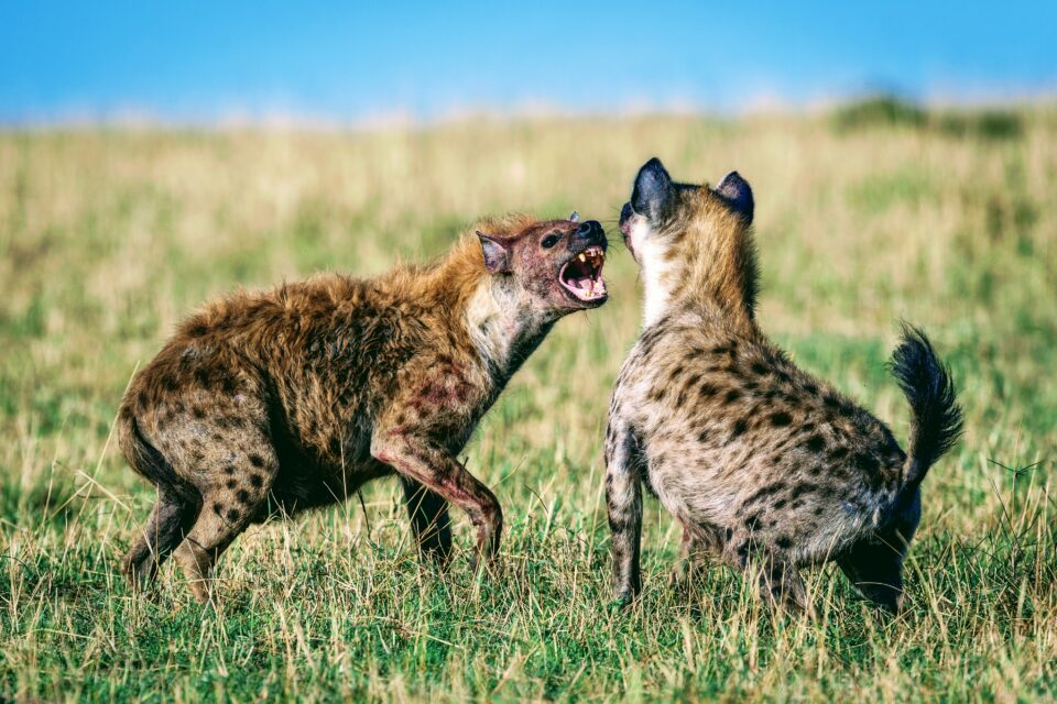 A new study reveals that both adult and juvenile hyenas often play fight with each other, using subtle body language cues to communicate