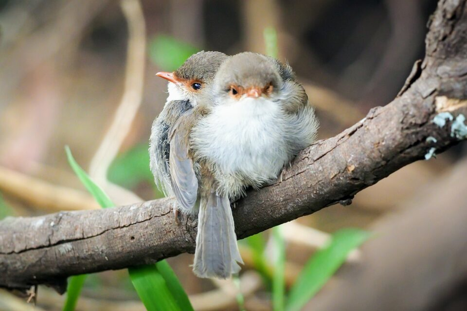 In a fascinating study led by Flinders University, researchers have discovered that baby birds can learn sounds from their parents before they have even hatched