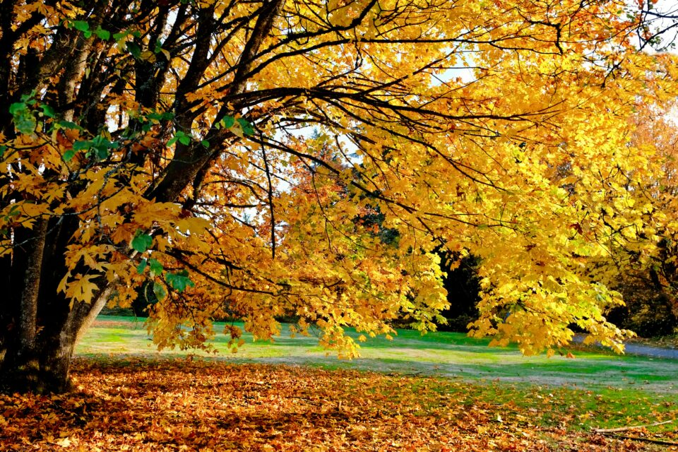 However, new research from the University of Washington predicts a bleak future for the Bigleaf Maple.