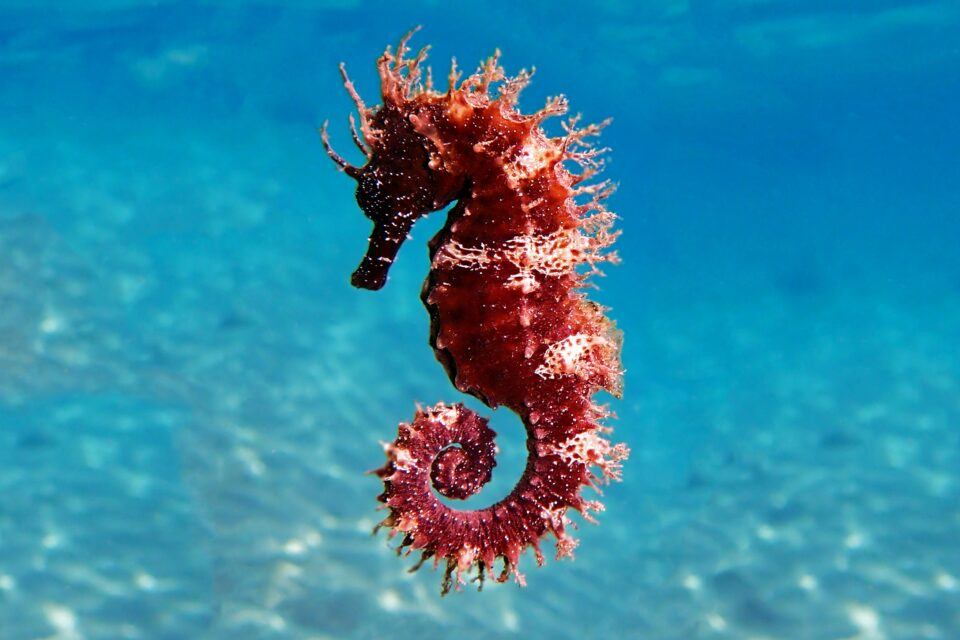 Although they are slow, poor swimmers that sometimes even die of exhaustion, seahorses have some surprisingly speedy qualities too