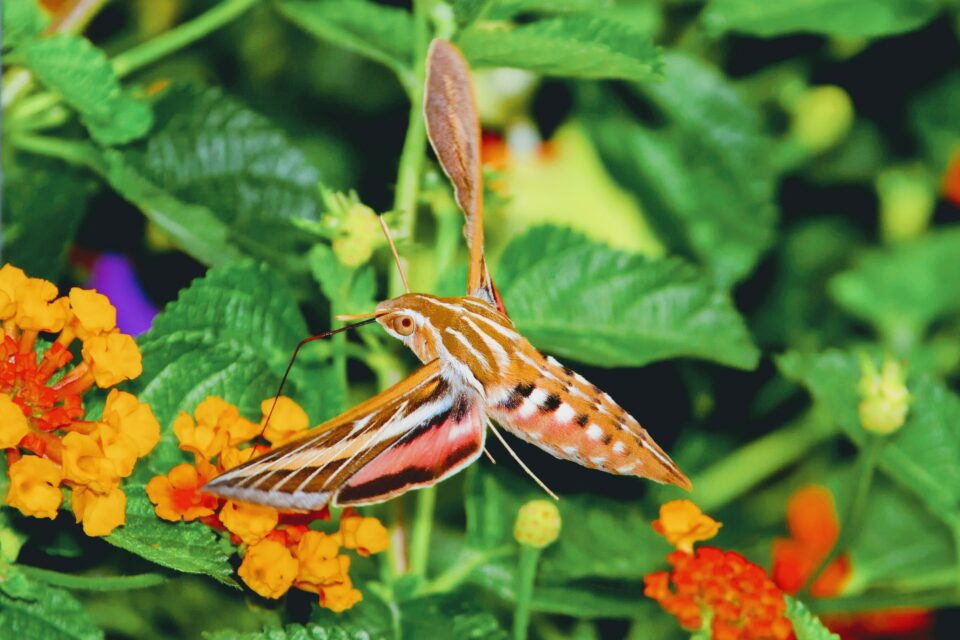 Known as Wallace's sphinx moth, this moth is considered to have the longest tongue of any insect, measuring up to 30 centimeters.