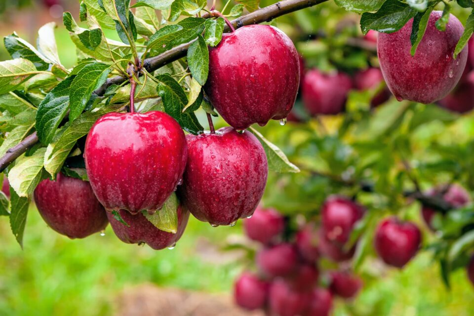 A recent study has investigated the mechanisms through which apples get their particular shapes (mostly spherical, with a cusp at the top where the stems grow