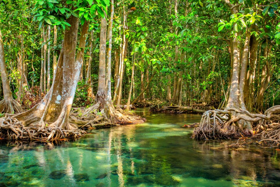 Mangroves are a type of trees, palms, and shrubs that are usually found along tropical and subtropical coastlines