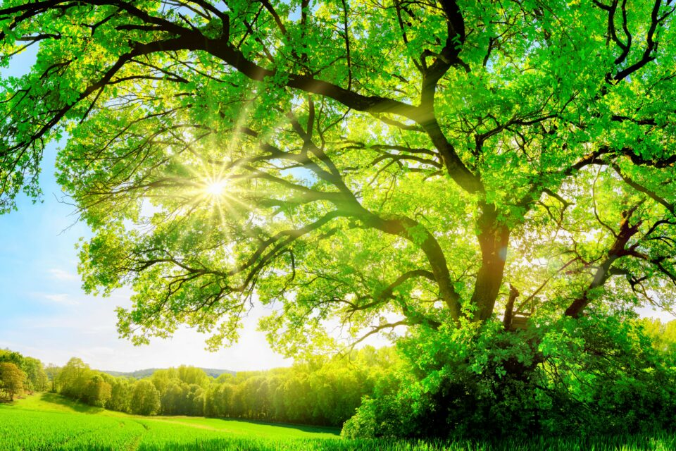 A new study led by the University of Birmingham exposed old oak trees to elevated levels of CO2