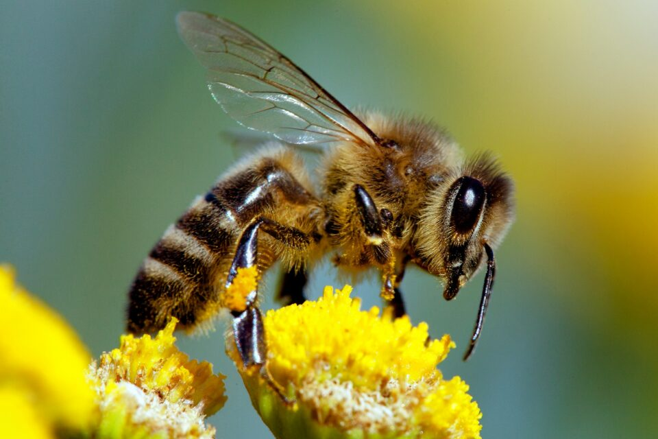 Recent evidence suggests that flower-rich gardens in towns and cities may play an important role in providing food to bees and in the conservation of these pollinators.