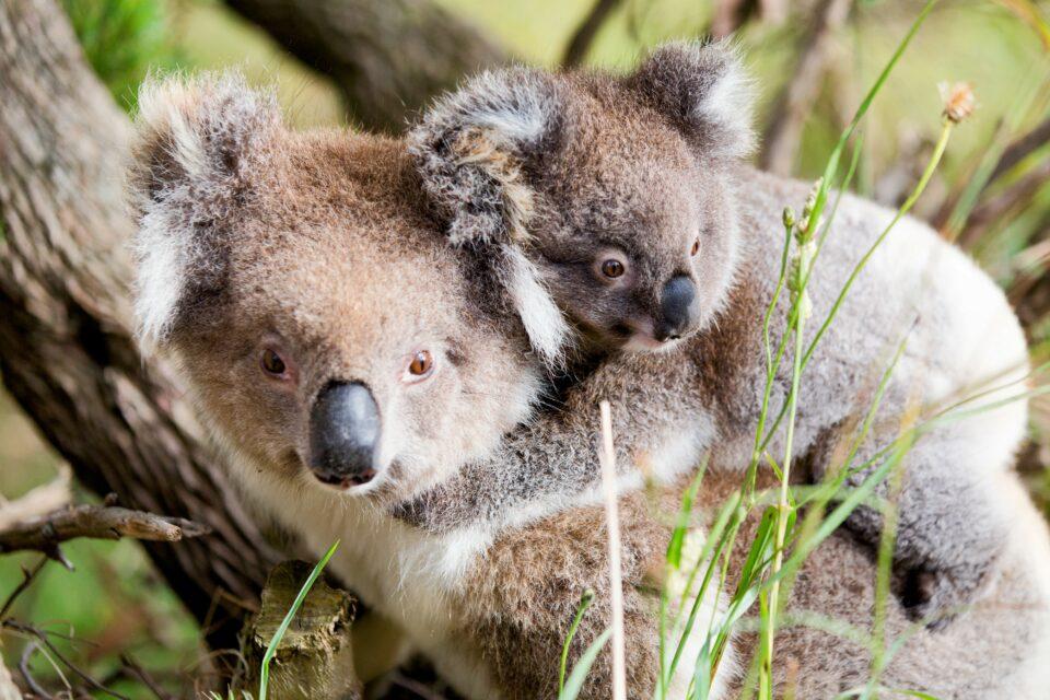 A less well-known threat to the iconic Australian animal is the Koala retrovirus, or KoRV.