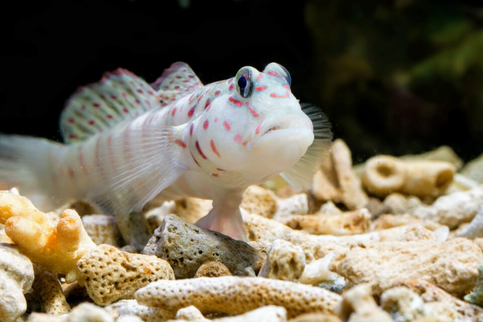 a group of scientists from Japan and the Philippines have used the power of genomic analysis to identify three new species of Indo-Pacific goby fish