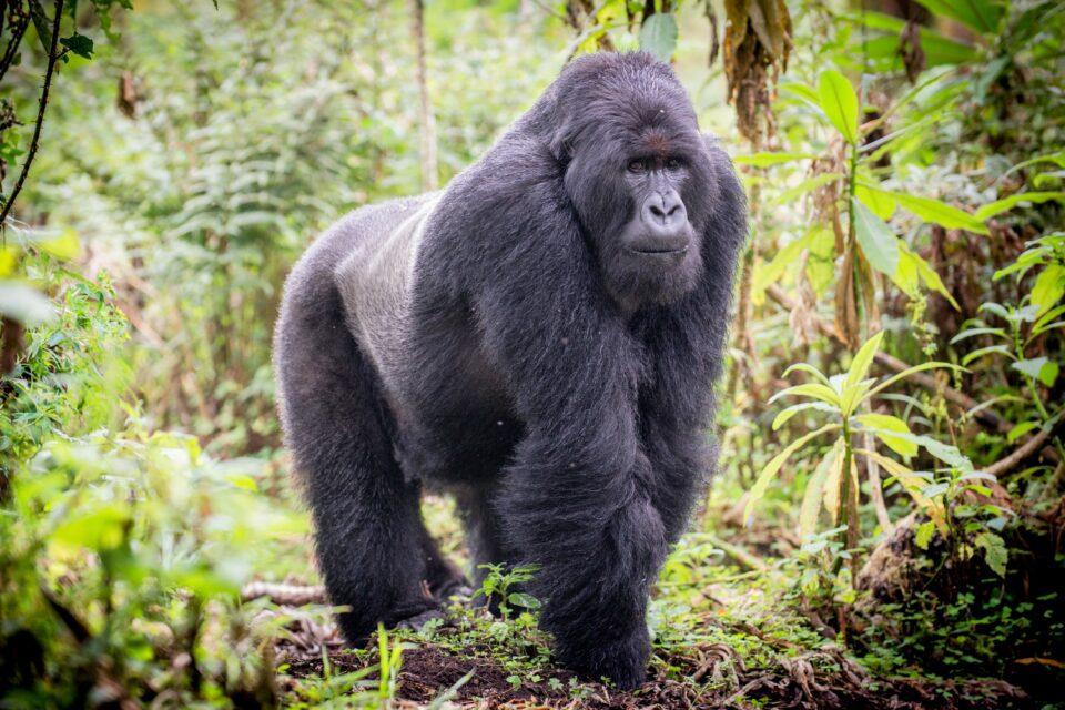 Respiratory diseases spread quickly among mountain gorillas.