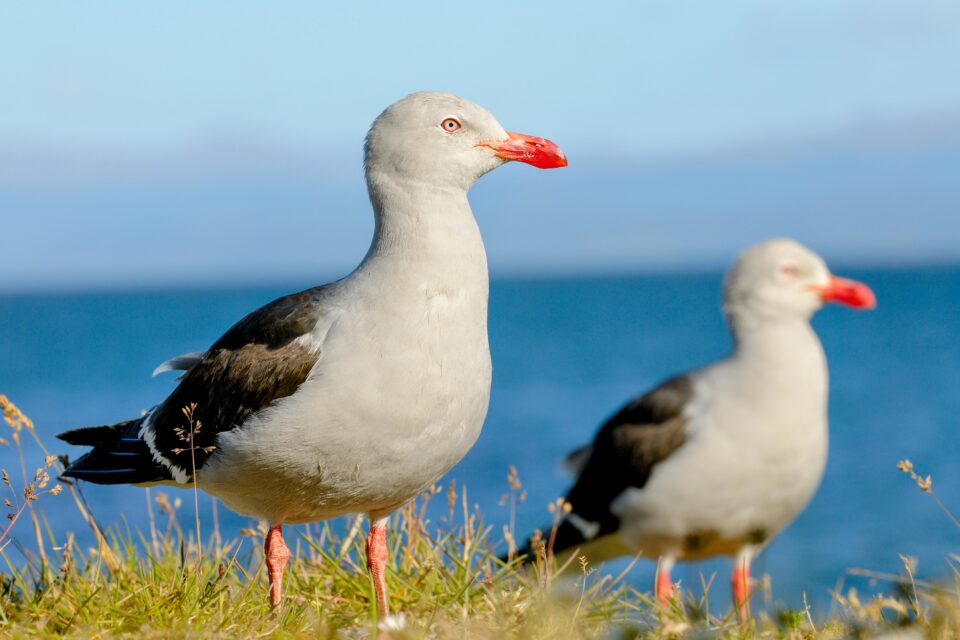 Seabirds from Marion Island near Antarctica, Gough Island in the south of the Atlantic Ocean, and the coasts of Western Australia and Hawaii have developed a dangerous habit: eating plastic