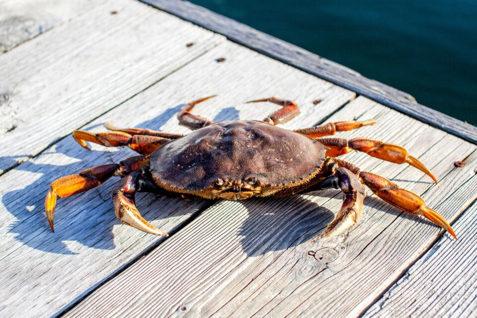 A key example of a creature that will be affected is the Dungeness crab, a marine animal that relies heavily on consistent seasonality timings.