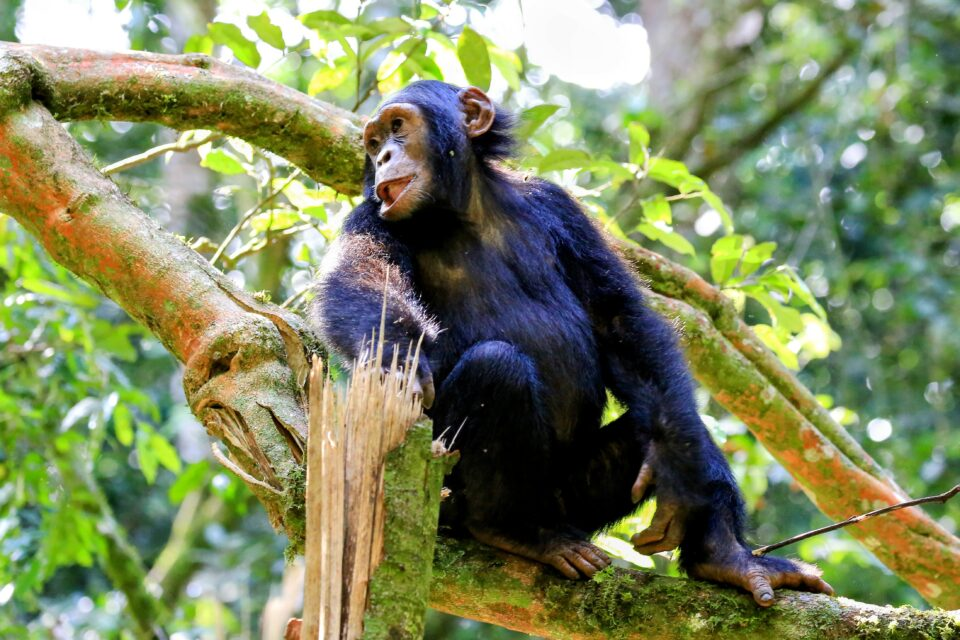 A new study led by the University of Exeter and the Robert Koch Institute revealed that leprosy has been found in wild chimpanzees for the first time